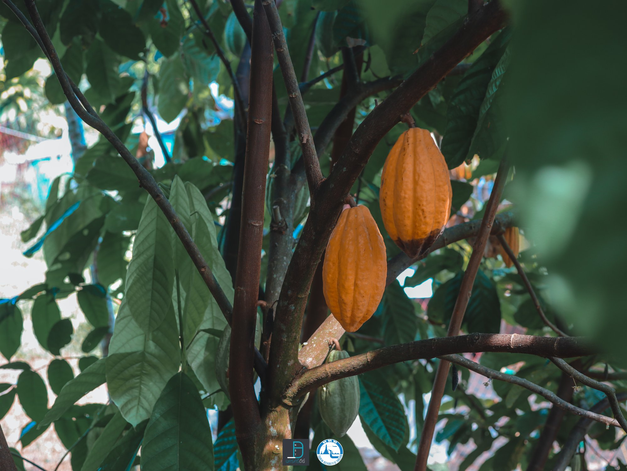 10.-Rose-Coco-Garden-พามาแวะ-การท่องเที่ยวเชิงโกโก้บ้าง-ที่นี่มีสอนทำการโกโก้ด้วยนะเออ-สาธิตตั้งแต่ต้นจนจบทำเป็นเลยครับ โกโก้,นครศรีธรรมราช,อร่อย,ergo,coffee,ของกิน,เครื่องดื่ม,คาเฟ่